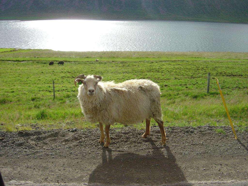 Sheep met on the Fiord road